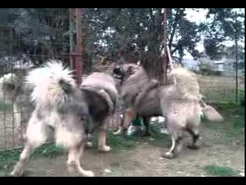 Kavkaski ovcari  Uzgajivacnica