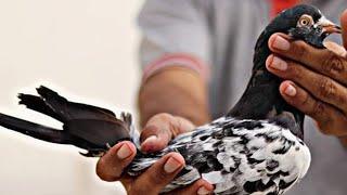 سیکھو اور سیکھاٶ میں آج ھوگی پہچان ٹیڈی اور رام پوری کبوتر کی نسلوں پر استاد آزاد بٹ آف کراچی کے سات