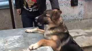 Керченский наркотик-ХАМСА !!! Как кормить собаку рыбой.