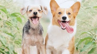 Repeat youtube video Top 10 Best Pet Dogs