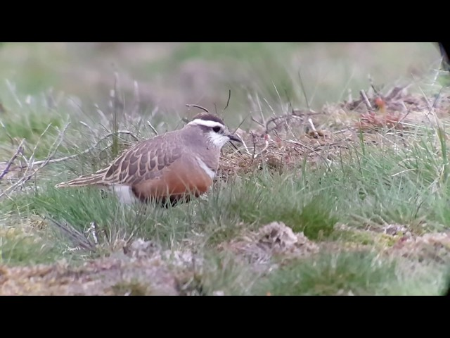 Dotterel Part 2