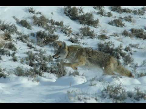 Leaping, Running Coyote, Yellowstone, Winter.wmv