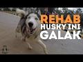 REHAB: Husky Ini Sering Menggigit Pemiliknya