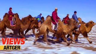 Mongolian Camel Race – Traditional Bactrian Camel Festival | VIEWS