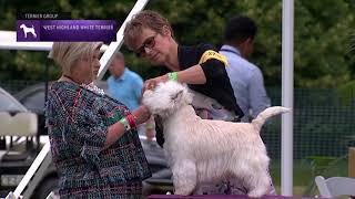 West Highland White Terriers | Breed Judging 2021