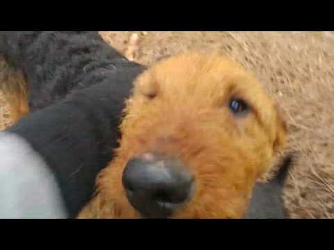 Pack Walk Playing AKC Purebred Airedale Terrier Puppies For Sale On February 1, 2019