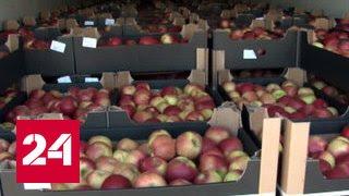 Детектив под Вязьмой санкционные яблоки везли под видом крахмала