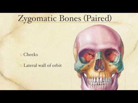 The Skull - Facial Bones