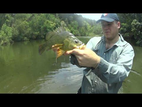 Sunshine Coast Freshwater Creek Fishing | 50cm Yellowbelly