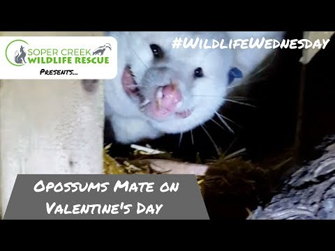 Opossums Mate On Valentines Day
