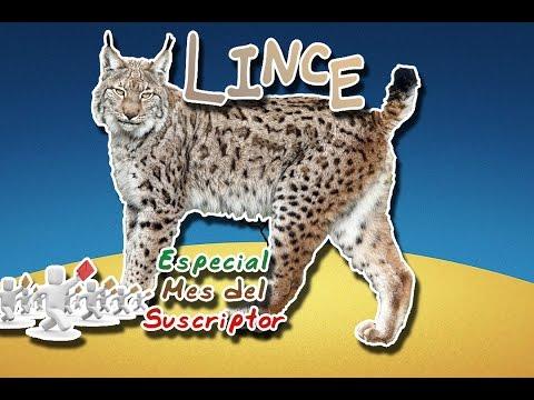 Lince o Lynx (El cazador por emboscada)|Animales del Mundo| (Mes del Suscriptor)