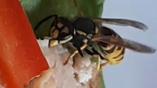 Etobur arılar