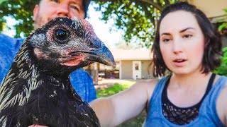 We Rescued GIANT Fighting Chickens!