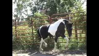 SIRI Georgian Grande Friesian Sport Horse FOR SALE Flying W Farms PART 2