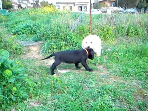 Molossos Koutavakia Great Dane Puppy