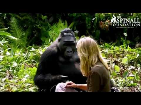 Aspinall Foundation- Gorilla Research