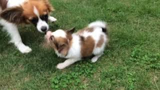 お庭を元気に走っています 全国優良ブリーダーの子犬紹介サイト『みんな...