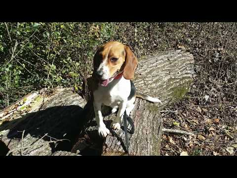 """1 Year Old Beagle """"Max"""" Before/After Video   Best Georgia Dog Trainers"""