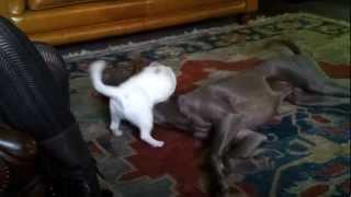 Jack Russell Terrier Vs Weimaraner