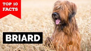 Briard  Top 10 Facts