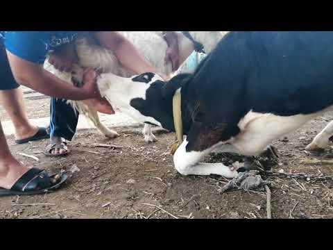 Тёлка сосёт сиську у козы
