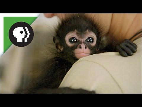 Orphaned Spider Monkey