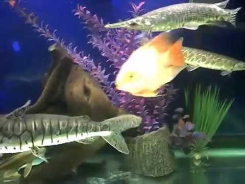 Sharing giant arowana from fishing kaki |Giant Arowana