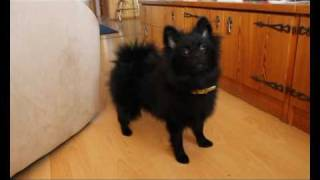 Give Me The Damn Ball! (pomeranian/kleinspitz Puppy Barking)