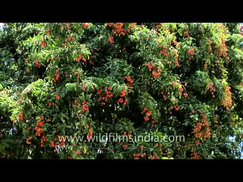 Lychee trees iun full fruit in Dehradun