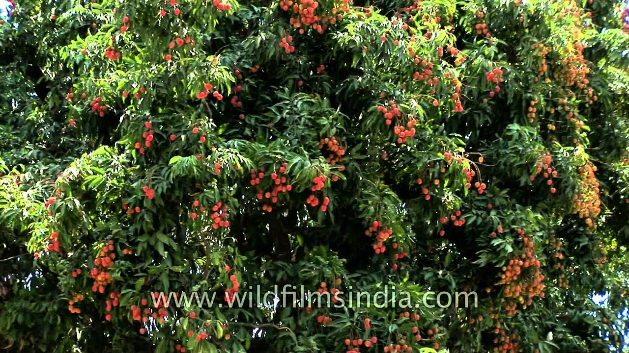 lychee trees iun full fruit in dehradun, Beautiful flower