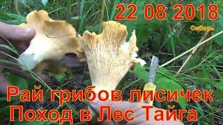 Рай грибов лисичек 22 08 2018 Поход в Лес Тайга Природа Сибирь гриб лисичка