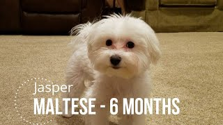 6 Month Maltese puppy doing some tricks