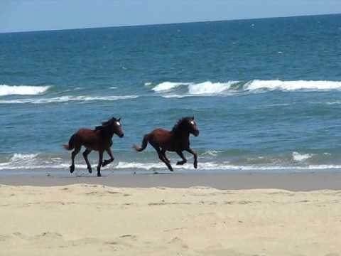Wild Horses Running On Corolla Beach North Carolina