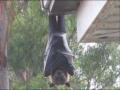 【閲覧注意】世界最大の「オオコウモリ」がリアル吸血鬼すぎる件・・・