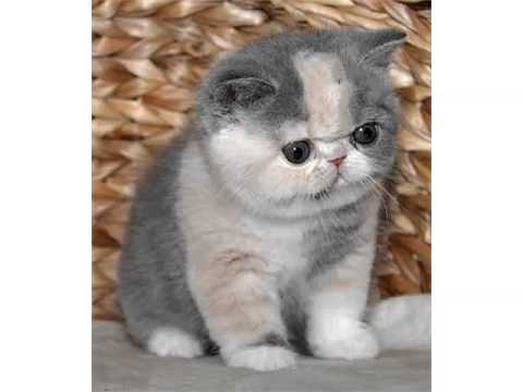 Exotic Shorthair - Cat Pictures - YouTube
