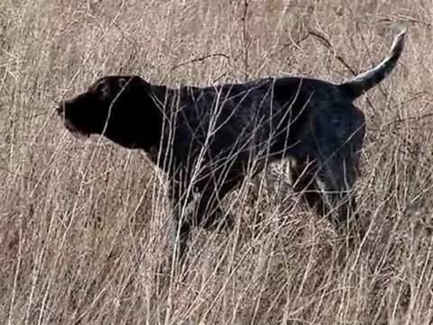 Охота на куропаток с дратхааром видео - Видео онлайн