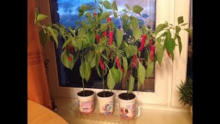 ВЫРАЩИВАНИЕ ОСТРОГО ПЕРЦА НА ПОДОКОННИКЕ. От и До... Февраль - Май 2017. Grow hot pepper.