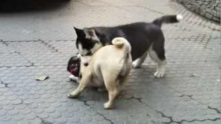 Siberian Husky & Pug Playing - 2