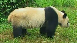 PANDA - Encyklopedia zwierząt dla dzieci PL