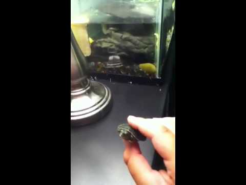 Baby Yellow Belly Slider Part 1