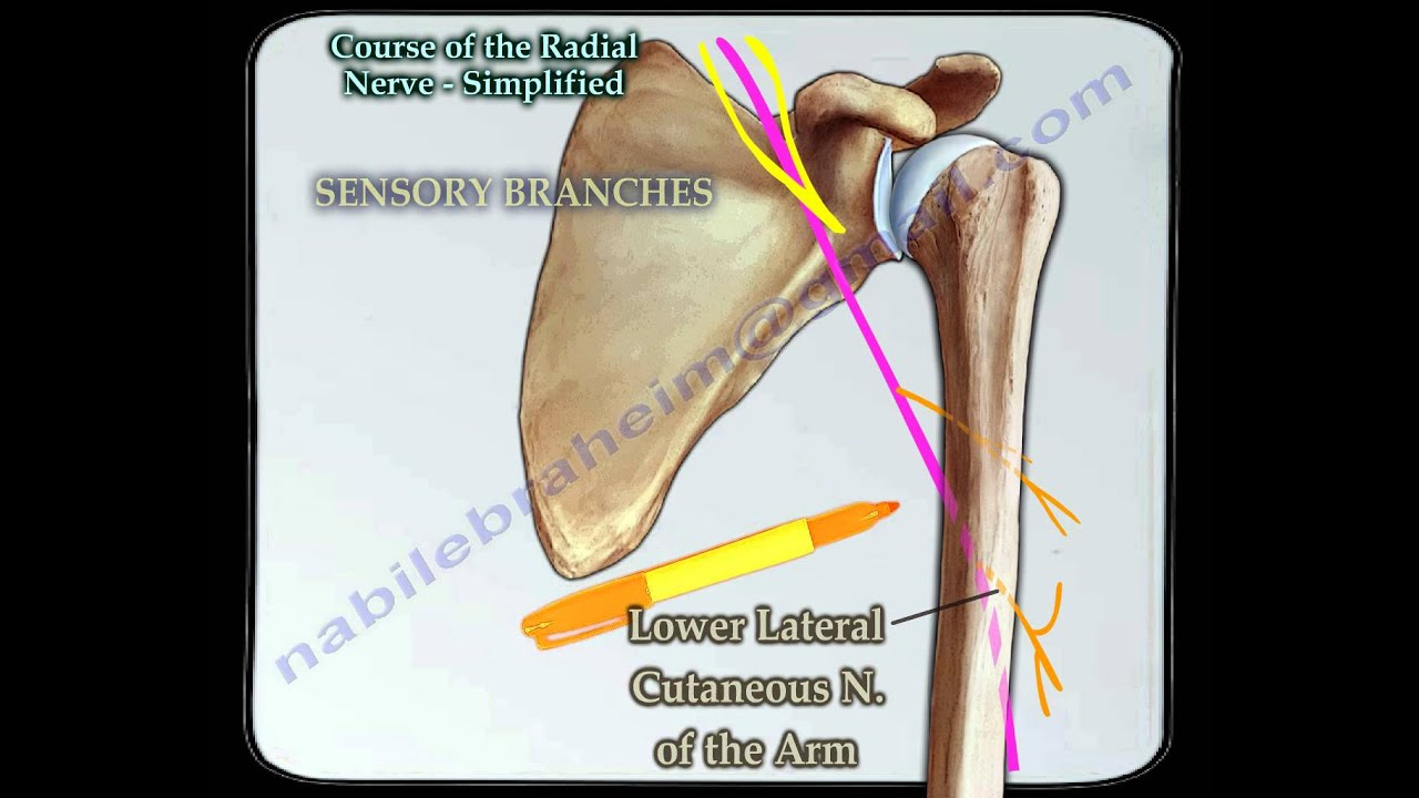 Course Of The Radial Nerve Simplified - Everything You Need To Know ...
