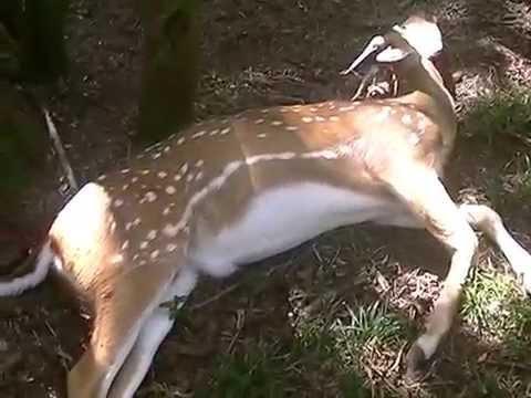 caza en ENTRE RIOS -el debut del ALBINO