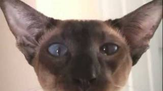 Siamese cat has a chuckle