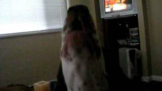 German Shorthair Pointer Howl