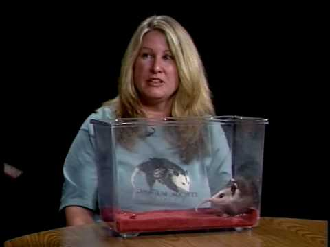 Learn All About Opossums On Wildlife Rescue
