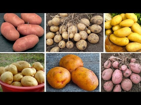 Лучшие сорта картофеля российской и зарубежной селекции. Часть 2