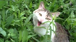 Шипящий кот 01
