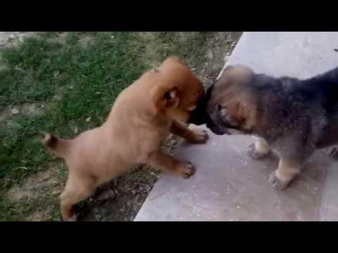 Afghan Kuchi Puppies II