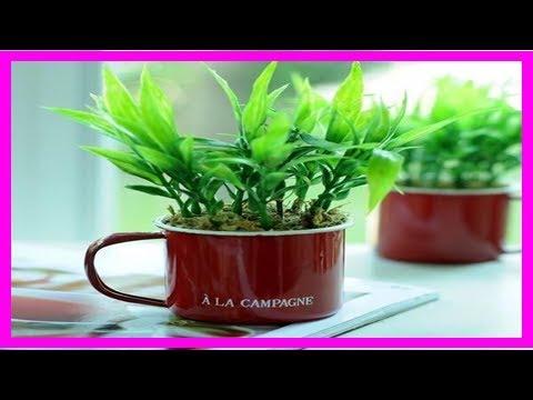 富貴竹就要發黃爛根快死了,婆婆往水裡加了它,兩天葉子全綠了!