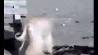 isabella Afghan Hound Film No. 1